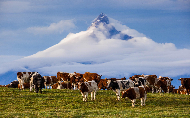 раздвижным тентом красивые картинки коровы на пастбище надо размяться